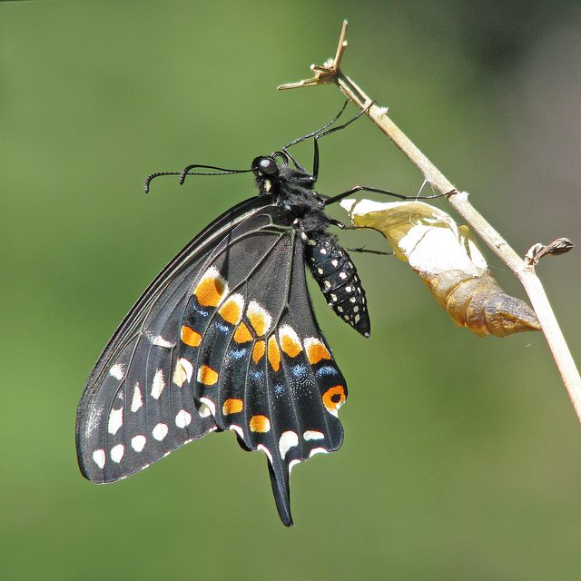 butterfly emerges from chrysalis