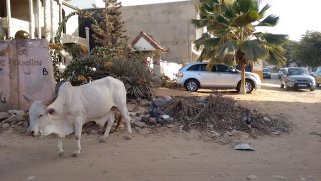 wandering_cow.jpg