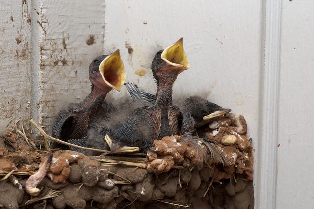 baby swallows.jpg